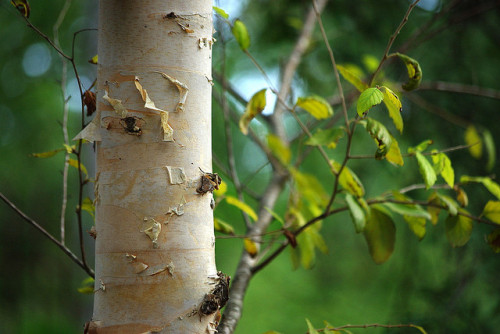 iamthewoodendoors:  I love birch trees! by Magda of Austin on Flickr.