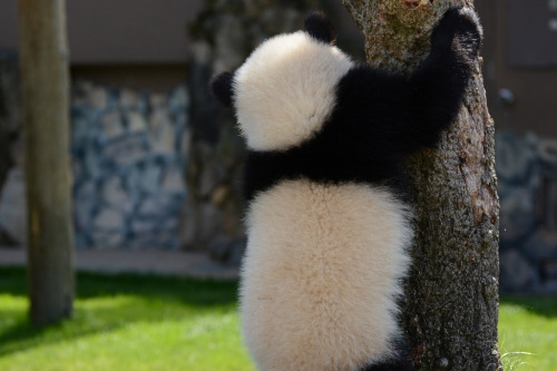 giantpandaphotos:  Yuhin at Adventure World in Wakayama, Japan, on April 21, 2013. © Patrick Harper.
