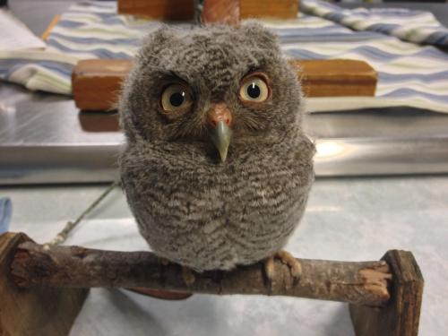 awesomephilia:  A baby Eastern Screech owl! (via)