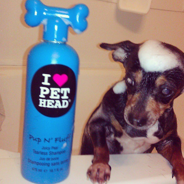 #Love #PetHead #Pet #Dog #Chihuahua #Suds #Bubbles #Scrub #Soap #Clean #Bath #Bathtime #Cute #Cutie #Adorable #DoubleTap