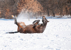 perfectanimals:  A Roll in the Snow (via)