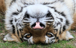 guardian:  Krasnoyarsk, Russia: Bartek, a one-year-old male Amur tiger, looks out from his enclosure at the Royev Ruchey zoo  Photograph: Ilya Naymushin/Reuters   this young and handsome boy, Bartek arrived at the zoo in march from Khabarovsk as a future-husband of Unona :))) ◆zoo news: КРАСНОЯРСКИЙ ПАРК ФЛОРЫ И ФАУНЫ «РОЕВ РУЧЕЙ» | Юнона и Бартек