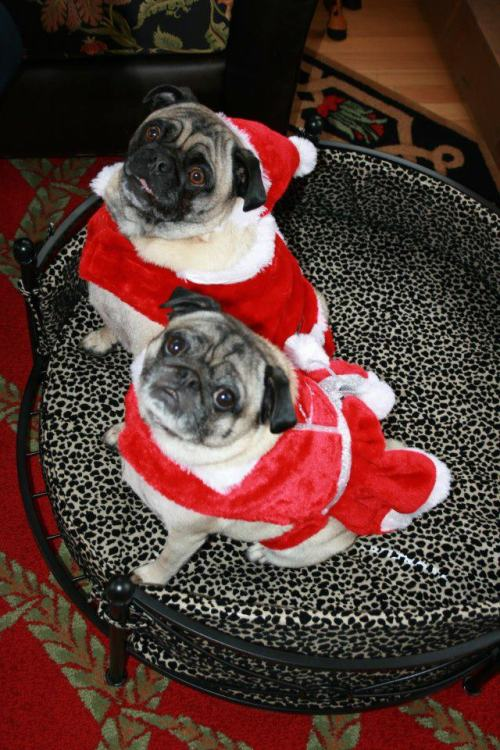 Can you feel the Christmas cheer (and shedding pug hair)? (via trickiwoo)  Merry Christmas from Mid-Atlantic Pug Rescue!