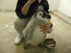 stay-ocean-minded:  JUST LOOK AT THIS PENGUIN ALSKDJFBSD;FLGKDF;G JUST LOOK