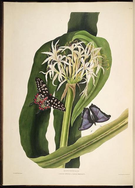 Crinum pedunculatum - the Swamp Lily by BioDivLibrary on Flickr. A selection of Hexandrian plants, belonging to the natural orders Amaryllidae and Liliacae.London : Robt. Havell, … , Pubd. 1831- ended Dec. 1, 1834..biodiversitylibrary.org/page/287984