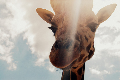 animalgazing:  Giraffe by rachelalbon on Flickr.