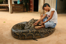 "Oun Sambath and his pet python. A few months after Oun Sambath was born, his family found a baby python under his mattress. They carefully took it outside, but during the night it returned to be with the baby boy. The boy's father prayed, and decided that the snake belonged to the boy and would bring them happiness.The boy and the snake have been together ever since. They have played together, have slept together, and even have talked together.""What do you say to the snake?"" People have asked the boy.""That is a secret,"" the boy has replied."