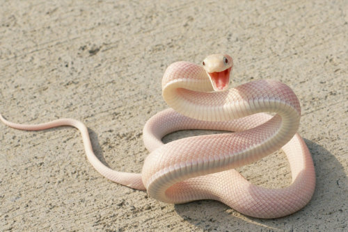 earth-song:  Leucistic Texas ratsnake The Texas rat snake (Elaphe obsoleta lindheimeri) is a subspecies of rat snake, a nonvenomous colubrid found in the United States, primarily within the state of Texas, but its range extends into Louisiana, Arkansas and Oklahoma. It intergrades with othersubspecies of Elaphe obsoleta, so exact range boundaries are impossible to distinguish. The epithet lindheimeriis to honor the German-American naturalist Ferdinand Jacob Lindheimer, who collected the first specimen inNew Braunfels, Texas. [read more]