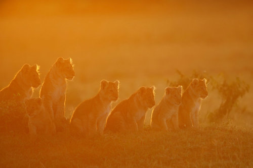 earth-song:  Lion cubs welcoming the sunrise by *serhatdemiroglu