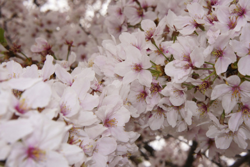 ileftmyheartintokyo:  Odawara Sakura 2013 by shinnygogo on Flickr.