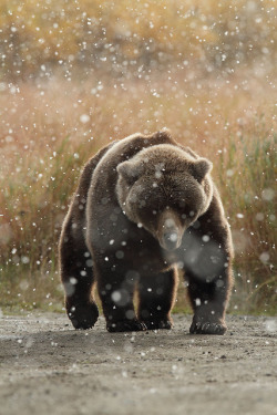 rain-storms:   Brown Bear in snow - Katmai National Park - Alaska by Impisi on Flickr.