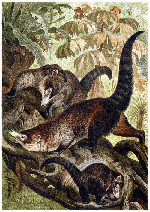 White-nosed coati.  From Brehms Tierleben (Brehm's animal life) vol. 2, under the direction of Alfred Edmund Brehm, Leipzig & Vienna, 1900.  (Source: archive.org)