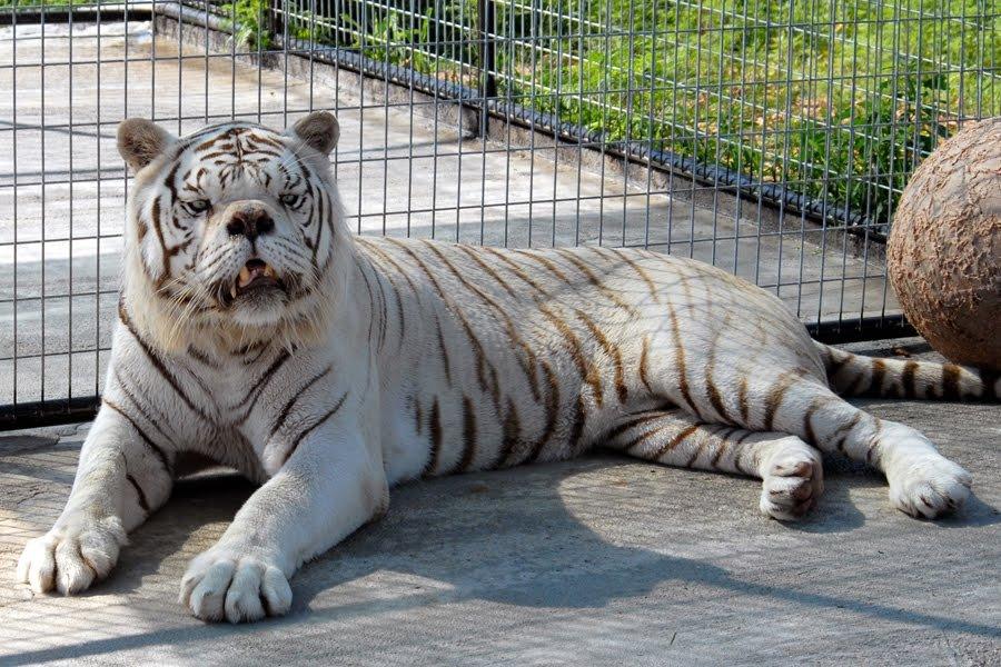 Harimau Putih yang Sindrom Down