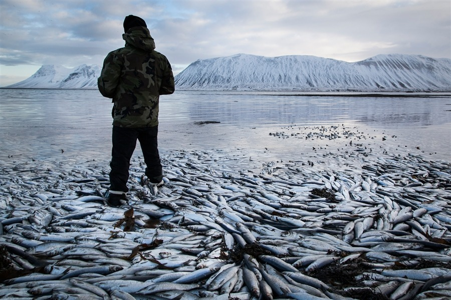 $9.8M worth of herring found dead in Icelandic fjord (Photo: Brynjar Gauti / AP) Dead herring are seen floating on Tuesday in Kolgrafafjordur, a small fjord in west Iceland, for the second time in two months. Read the complete story.