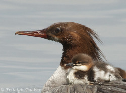 llbwwb:  Safe spot (via All sizes | Common Merganser female with first-day young | Flickr - Photo Sharing!)by Trileigh Tucker.