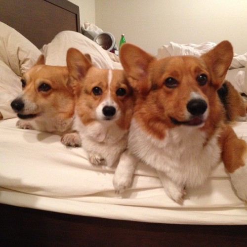 andcorgimakesthree:  Lovey family hugs #threecorgis #corgi #cute #love #petstagram #corgis #igers #photooftheday (at www.ThreeCorgis.com)  Cupcake looks worried!