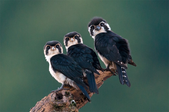 raptorwing:  Three pied falconets :)