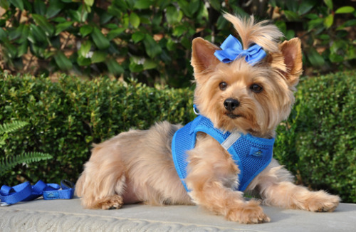 A new harness style just for small dogs. The American River dog harness by Doggie Design is available in 7 fresh, new colors. This harness is completely choke free and is the perfect solution for dog's that tend to tug on their leash. See our entire collection of small dog harnesses from Doggie Clothesline.
