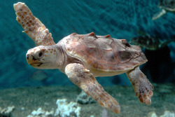 funnywildlife: montereybayaquarium:  Sea Turtle Hatchling Heading to Monterey Can sea turtles fly? Well, a young loggerhead sea turtle similar to the one pictured here will be airborne tomorrow, en route from North Carolina to an exhibit in our Open Sea galleries. It's flying coach to Monterey with Curator Steve Vogel. You can follow their progress on Wednesday using the Twitter hashtag #TravelingTurtle. At the earliest, it could be on exhibit Thursday morning, depending on the outcome of its veterinary exam. (We'll keep you posted.) The turtle is one of nine hatchlings rescued earlier this year by our colleagues with the North Carolina Aquarium at Pine Knoll Shores. These turtles didn't make it back to sea with their nest-mates, and were hand-raised at the aquarium. All nine are being loaned out to aquariums around the country, where they'll live for up to two years before they're returned to North Carolina, tagged and released to the wild. Our youngster is just over 4 inches long and weighs less than half a pound. By the time it leaves Monterey, it could be more than a foot long and weigh up to 15 pounds. We won't know if it's a boy or a girl, though. Even experts can't tell a sea turtle's gender until it's around 10 years old. Look for tomorrow's updates at #TravelingTurtle, then come check the little guy out for yourself. It will be on the second floor of the Open Sea, near the puffins and other seabirds, in an exhibit that highlights the threats facing sea turtles and other animals from unsustainable fishing practices.