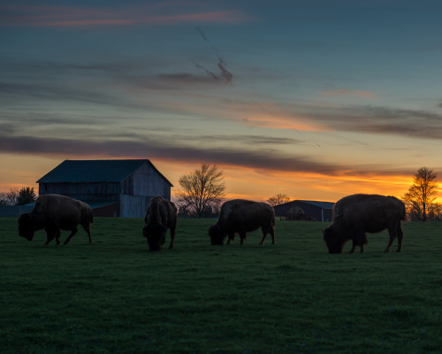 gregory365:  125/365: Bison By Sunset. A farm that has a herd of bison, that I always watch for on the way back from points west of Georgetown. Today, I was travelling along 15SR at sunset and the bison were out by the fence along 15SR. Stopped the car, popped out and grabbed a few photos of them from the roadside.