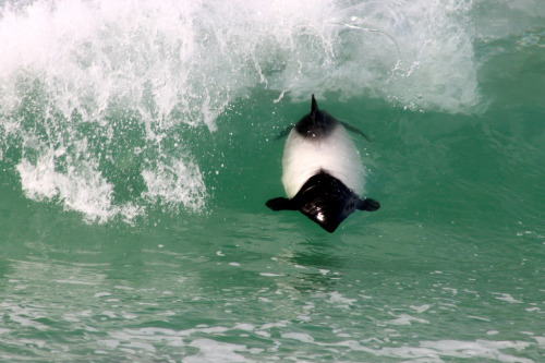 winterwidow:  deepblueseawhales:  Commerson's dolphin (by rob_culhane)  I am just so excited about seeing these guys in the wild. Less than 2 years away! :')