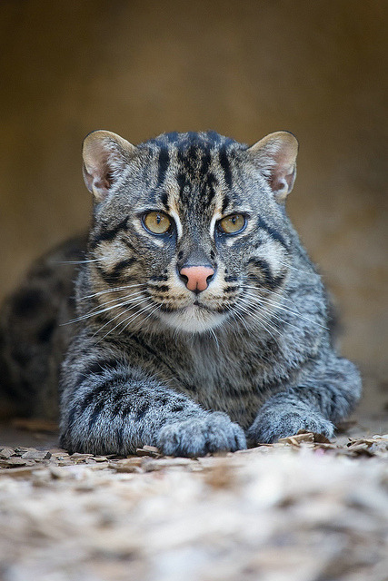 theanimaleffect:  Fischkatze / Fishing Cat by burnett0305 - Thanks for over 175.000 views! on Flickr.