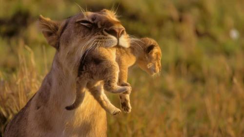 lion cub animal nature wild life photography