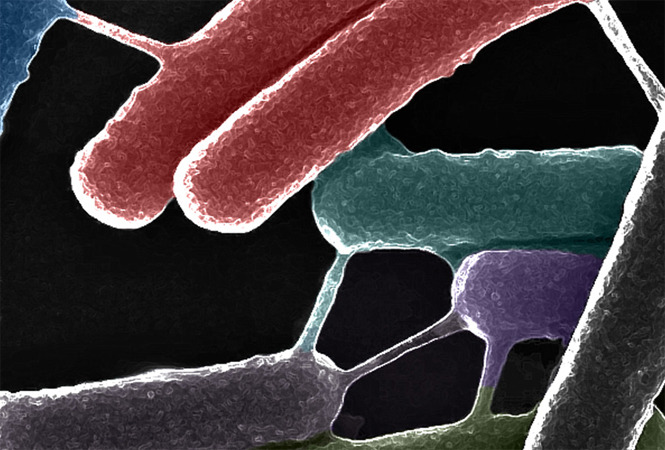 "Researchers have discovered a novel type of communication between bacteria mediated by ""bacterial nanotubes"" that bridge over to neighbouring cells, providing an ideal platform for the exchange of cellular molecules and signals within and between species. In the image above, Bacillus subtilis is pictured visualised by a high-resolution electron microscope after growth to mid-exponential phase; intercellular nanopores connecting neighboring cells are easily visible. Image Source: The Cell Picture Show."