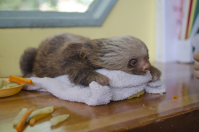 b-itish:  wtfswerve:  where can i buy a sloth like seriouslysloth >   Omfg