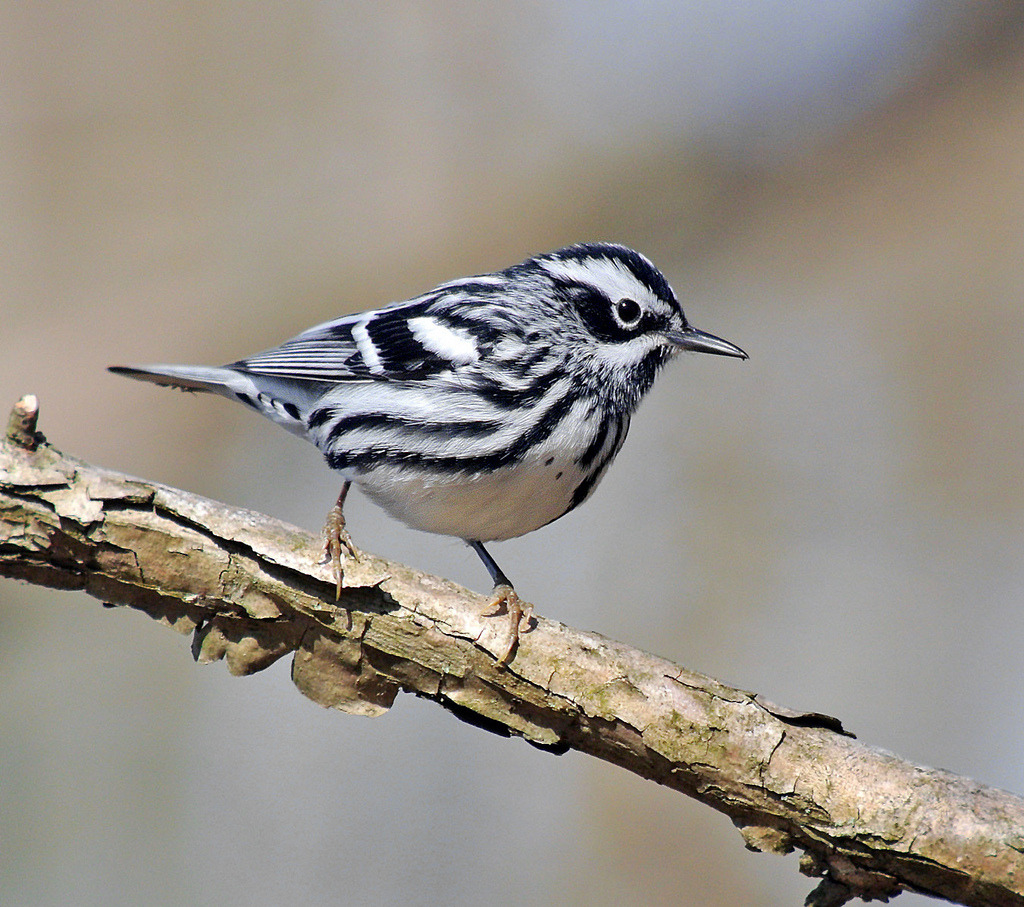 Black-and-White Warbler, Basking Ridge, NJ  (by JFPescatore)