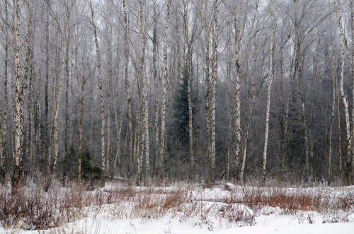 Winter forest by *ManonMorel