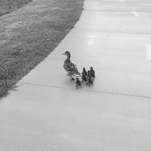 Look at this family of ducks