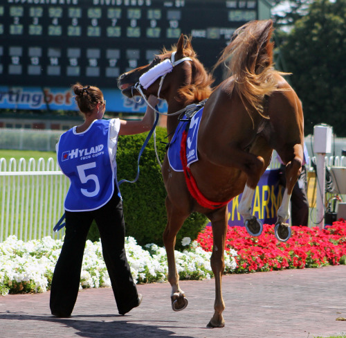 3yo Red Inca (Stratum x Beatiful Victory) gets sassy in the mounting yard prior to the Autumn Stakes