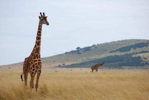 Maasai Mara - Masai Giraffes by bernicelee on Flickr.