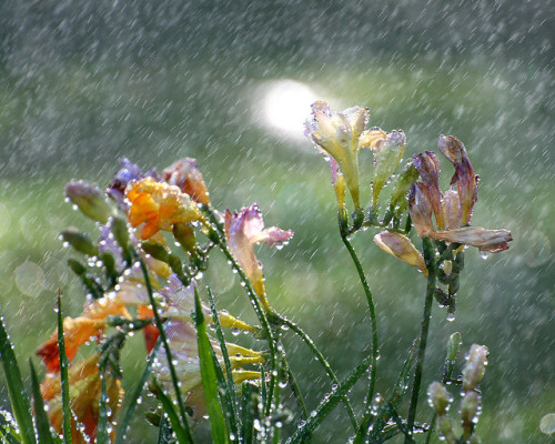 animalgazing:  Freesia in the Rain by John-Morgan on Flickr.