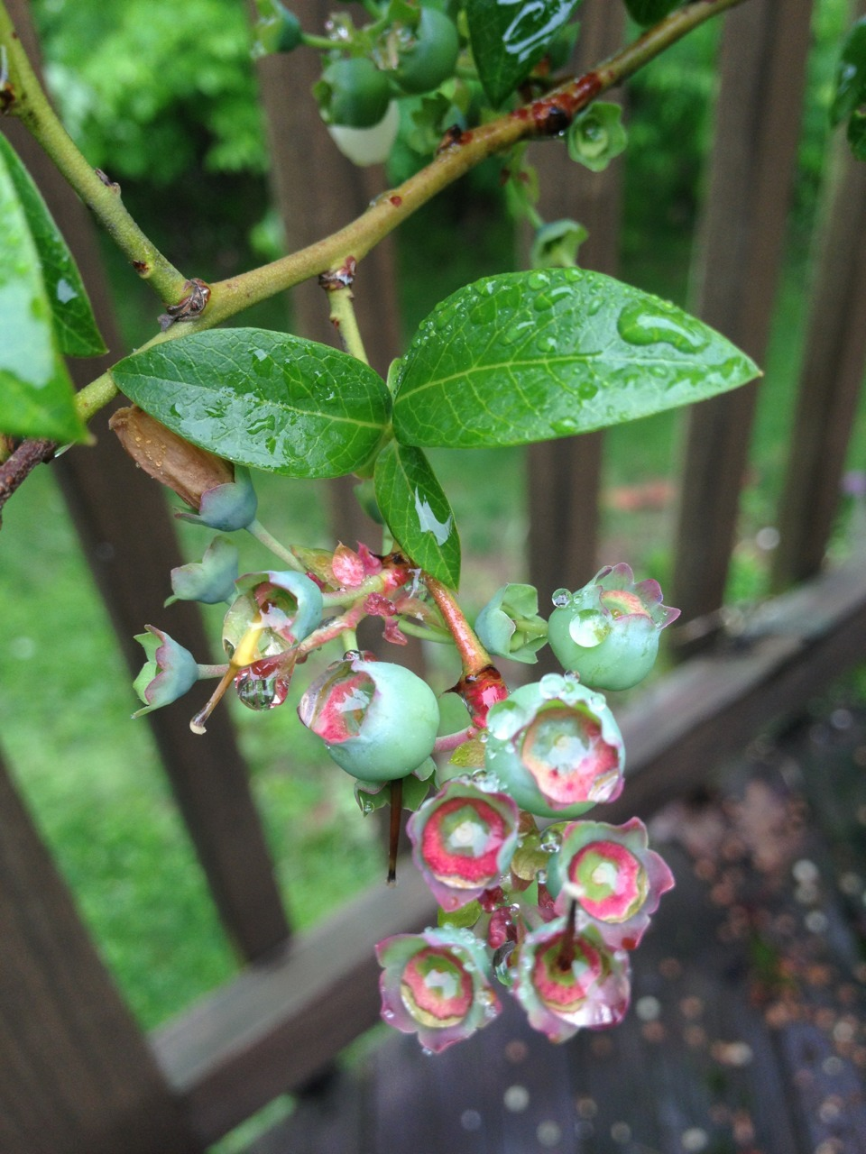 "hqcreations:  nyackbackyard:  There are two blueberry bushes planted an a whiskey barrel on my deck- ""Misty"" and ""Bluecrop."" I'm excited because they're flowering prolifically this year and I see lots of berries coming! They're covered with bird netting because last year half the harvest flew away.  nice! are these ""standard"" sized blueberry bushes in whiskey barrels? I got a dwarf blueberry in a container because I cant find a space to dedicate to acidified soils, but if a whiskey barrel works, I'll totally do that!"