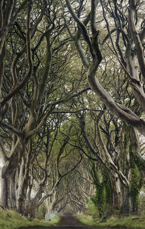 4nimalparty:  the dark hedges (by manyfires)