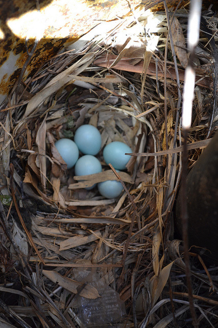 bel0w:  015 on Flickr. a robin laid its eggs in our propane tank :')