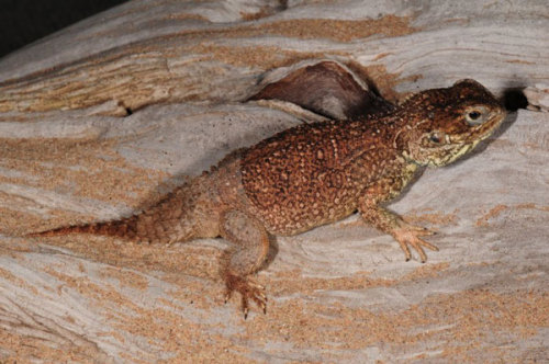 "Amateur Herpetologist Discovers New Lizard Species in Somalia Czech amateur herpetologist Tomas Mazur has discovered a new agama species, Xenagama wilmsi, a small lizard with flat ""beaver-like"" tail, in Somalia, and found out that this is actually the species most reptile fans keep in their vivariums without knowing it, Mazuch said. The species inhabits the Horn of Africa countries, Ethiopia and Somalia. Its tail is flat at the beginning and it narrows towards its end… (read more: Somaliland Times)"