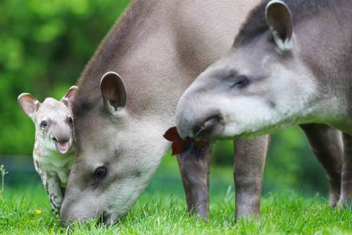 How cute is this adorable tapir family?