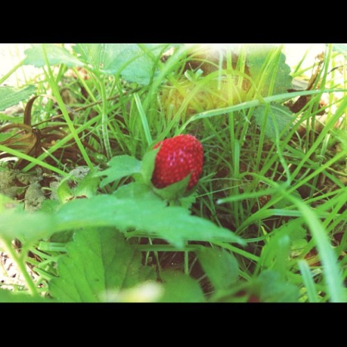 Wild strawberry 😚 #strawberry #cute #littlestrawberry #sacramento #spring