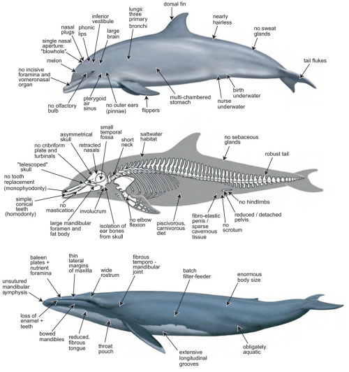 """Modern cetaceans represent a bizarre mixture of traits, many of which are thought to be specializations that enable an obligately aquatic lifestyle. Some of the characteristic features of extant cetaceans are indicated in illustrations of the delphinid odontocete Tursiops truncatus (bottlenose dolphin), top and middle, and the balaenopterid mysticete Balaenoptera musculus (blue whale). Many of the specializations that make a whale look like a whale are evolutionary losses (e.g., hindlimbs, external ears, hair, teeth) in combination with structures that are uniquely evolved within Mammalia (e.g., dorsal fin, blowhole, melon, baleen, extremely ''telescoped'' and asymmetrical skull, pleated throat pouch). Artwork is by Carl Buell."" A phylogenetic blueprint for a modern whale. Gatesy J, Geisler JH, Chang J, Buell C, Berta A, Meredith RW, Springer MS, McGowen MR. Mol Phylogenet Evol. 2012 Oct 26. pii: S1055-7903(12)00418-6 (pdf)"