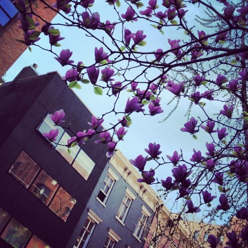 #spring has #sprung in #nyc #chelsea #manhattan