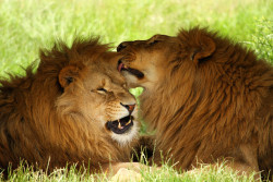 animalkingd0m:  Lions by Alan Hinchliffe