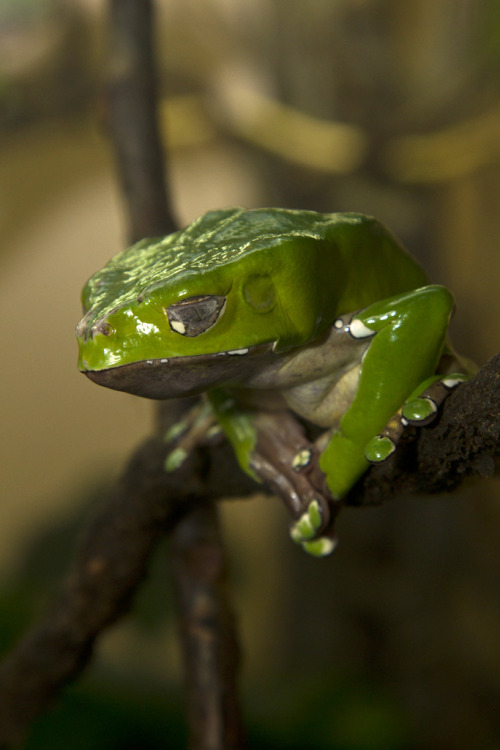 llbwwb:  Folding frog (by Official San Diego Zoo)