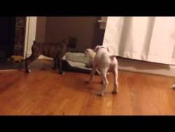 un-chihuahua-intenta-imponer-respeto-con-dos