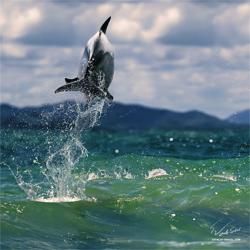 moreanimalia:  majestic-creatures: Dolphin Leaping Out of wave by Vitaly-Sokol
