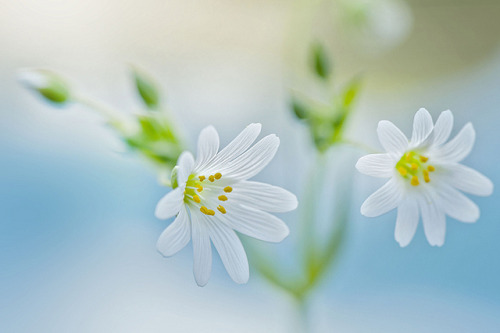 Spring Stitchwort by Jacky Parker Floral Art on Flickr.