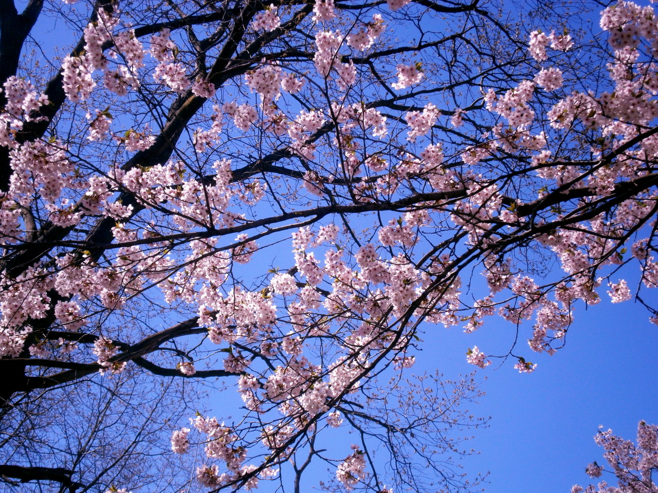 aquilaofarkham:  The cherry blossoms were in full bloom near my home this weekend and I couldn't help but take a couple shots :)