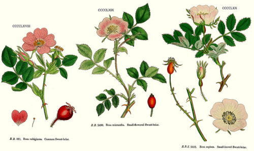 wapiti3:  Rosa rubiginosa, Rosa micrantha and Rosa agrestis (as R. sepium): Eng. Bot. 468–470, 1864. on Flickr.  The families of flowering plants source-Delta Keys